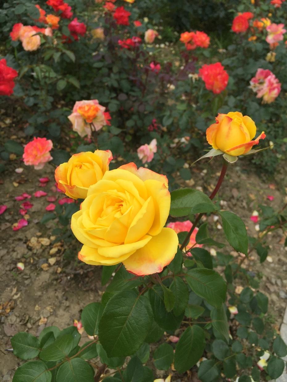 老伴 - 蔷薇花开 - 蔷薇花开的博客