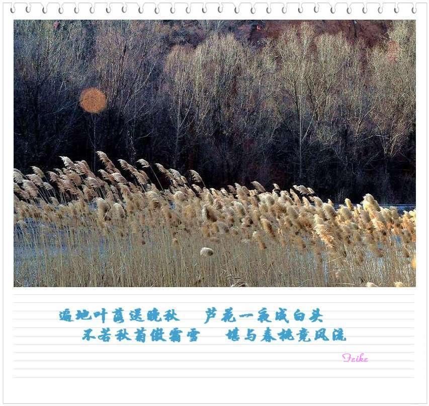 【摄影散文】冬芦飞花 - 古藤新枝 - 古藤的博客