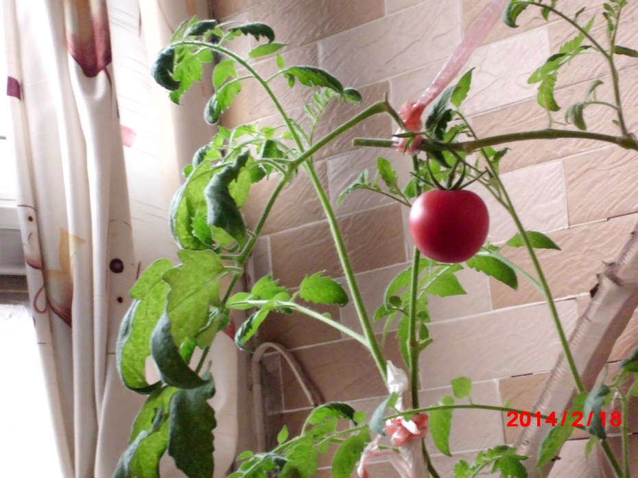 西红柿又红了6-----窗台菜园(摄影)11 - ydq200888 - ydq200888的博客