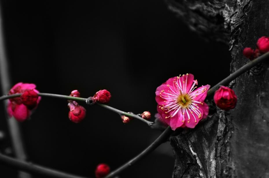 一花独放也是春 - 龙眼 - 龙之血脉