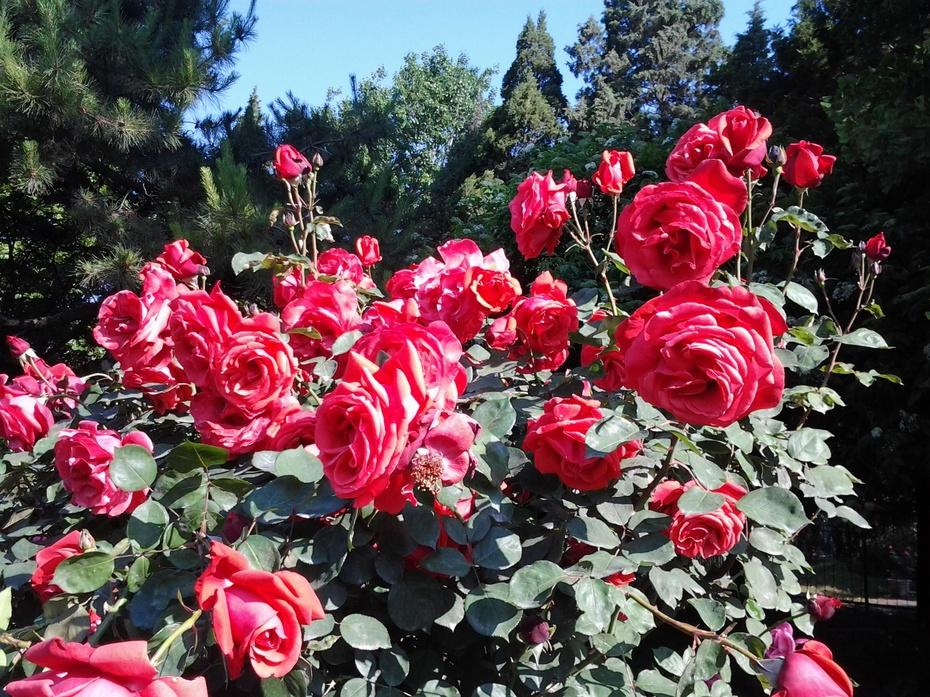 盛开的月季花(手机拍摄)3 - ydq200888 - ydq200888的博客