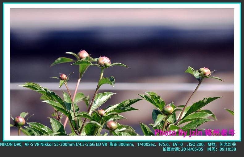 【摄影园地】——芍药花蕾 - 锦州老牛 - 锦州老牛的博客