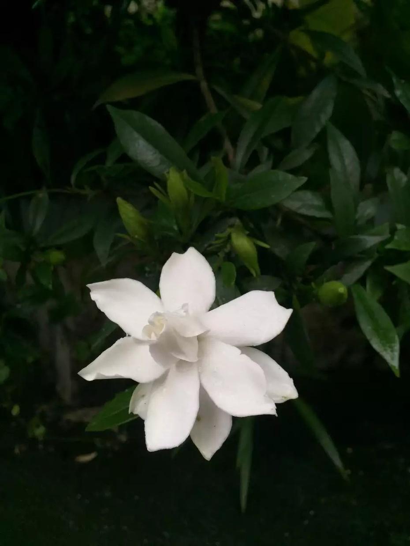 栀子花开 - 蔷薇花开 - 蔷薇花开的博客