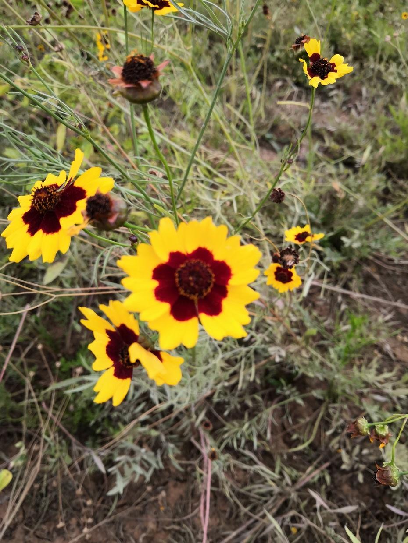 赏花篇之:双色金鸡菊 - 淡淡云 - 淡淡云