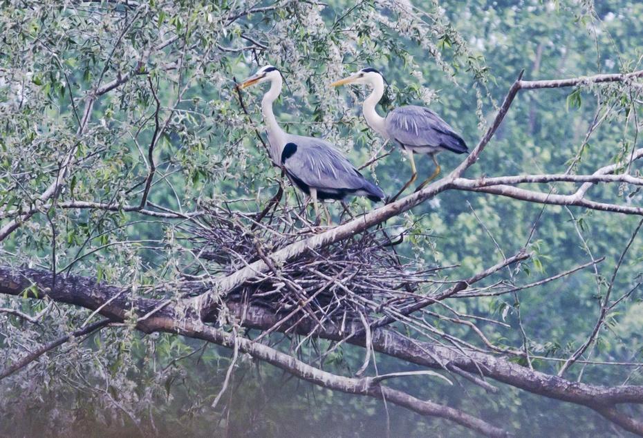 翠湖湿地好风光,氺畔苍鹭育雏忙 - 侠义客 - 伊大成 的博客