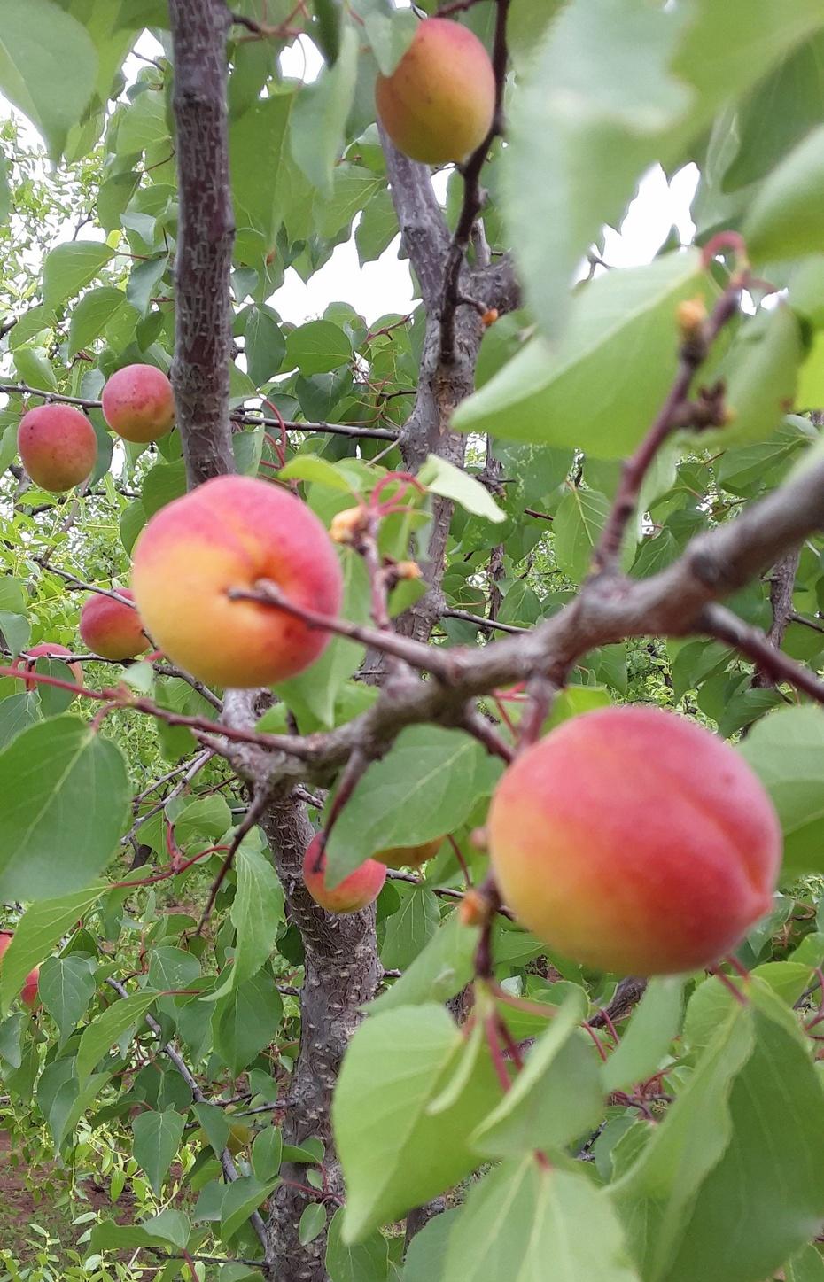 果实篇:山杏熟了 - 淡淡云 - 淡淡云