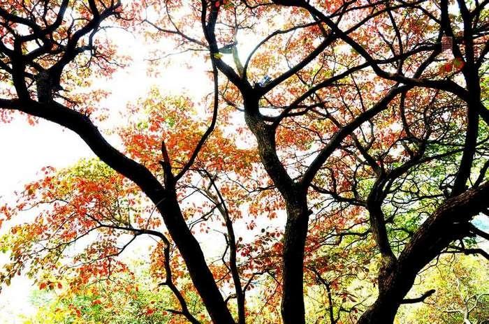【原创影记】齐鲁观红叶——青州红叶山2 - 古藤新枝 - 古藤的博客