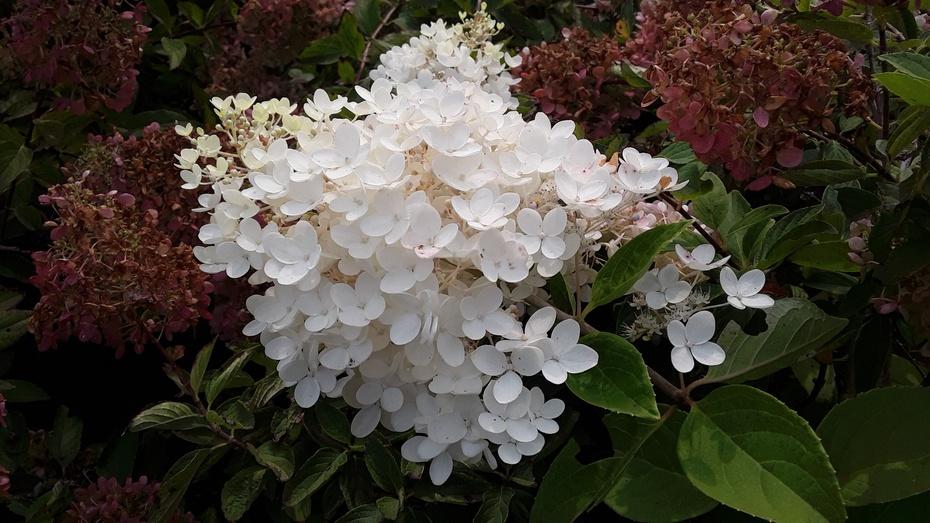 花卉之:白绣球 - 淡淡云 - 淡淡云