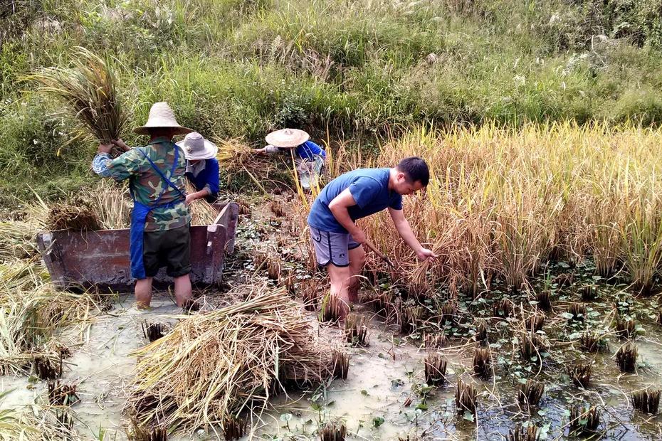 【黔东南】跟着家人打稻谷,感受秋收的艰辛 - 往事并不如烟 - 往事并不如烟