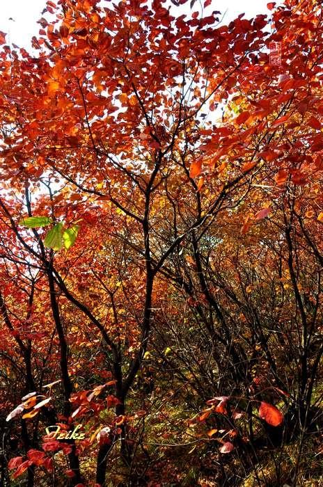 【原创影记】齐鲁观红叶——青州滴水崖2 - 古藤新枝 - 古藤的博客