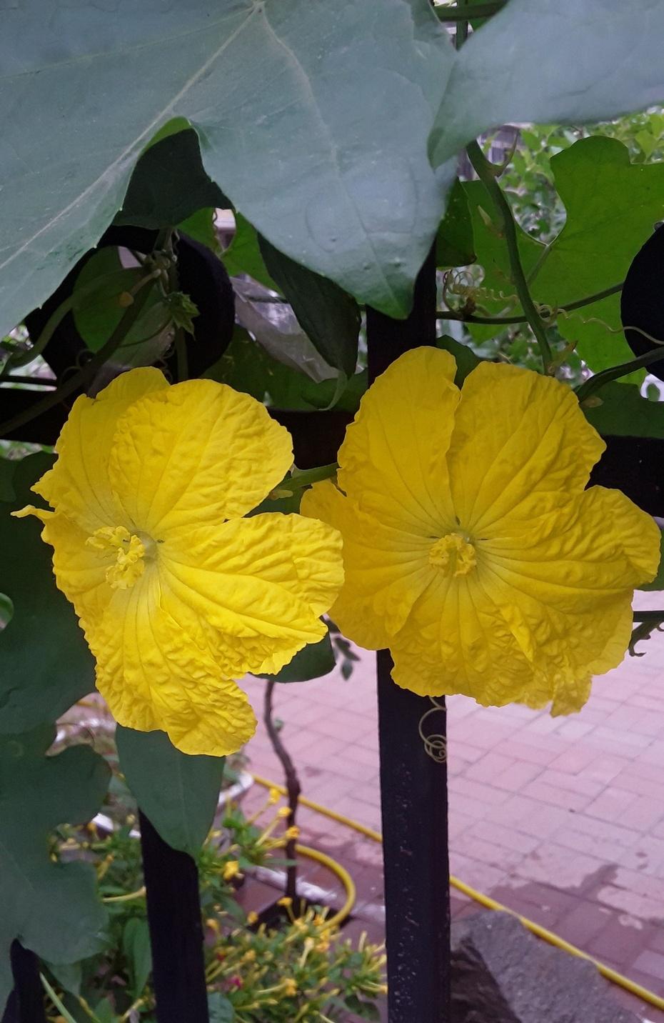 赏花之:丝瓜花 - 淡淡云 - 淡淡云