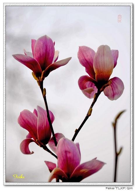 【原创摄影】春日花片——玉兰花2 - 古藤新枝 - 古藤的博客