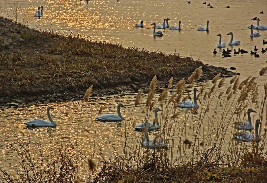 涧河大桥看天鹅,天鹅湖上泛金波--隆冬豫晋游之四 - 侠义客 - 伊大成 的博客