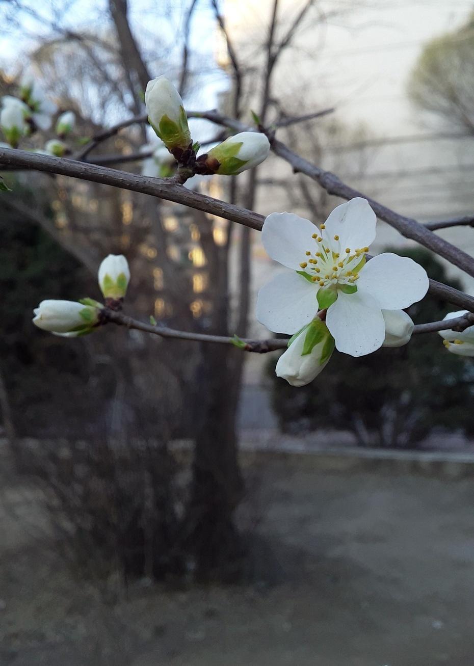 春的信息(山桃) - 淡淡云 - 淡淡云