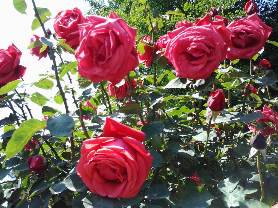盛开的月季花(手机拍摄)14 - ydq200888 - ydq200888的博客