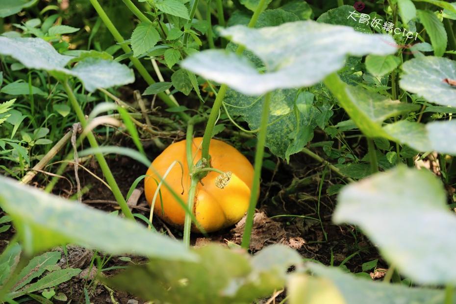 无污染纯绿色采摘,亲近大自然 - 大胃妖精cici - 大胃妖精cici