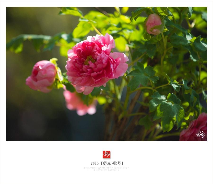 【上海】唯有牡丹真国色,花开时节动申城 - 蓝风 - 蓝风的图像家园