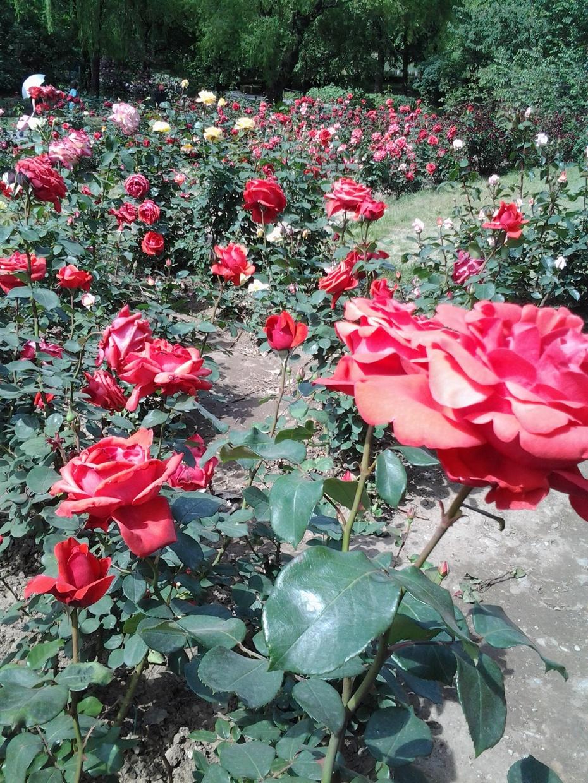 花团锦簇,美不胜收---北京植物园的月季花3 - 和谐 - 和谐的博客