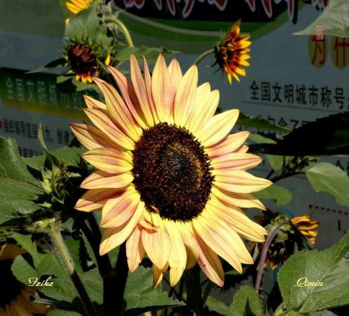 青甘记行27: 邂逅葵花海(三) - 古藤新枝 - 古藤的博客
