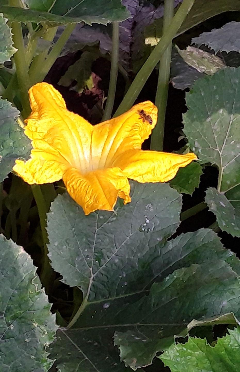 赏花之:角瓜花 - 淡淡云 - 淡淡云