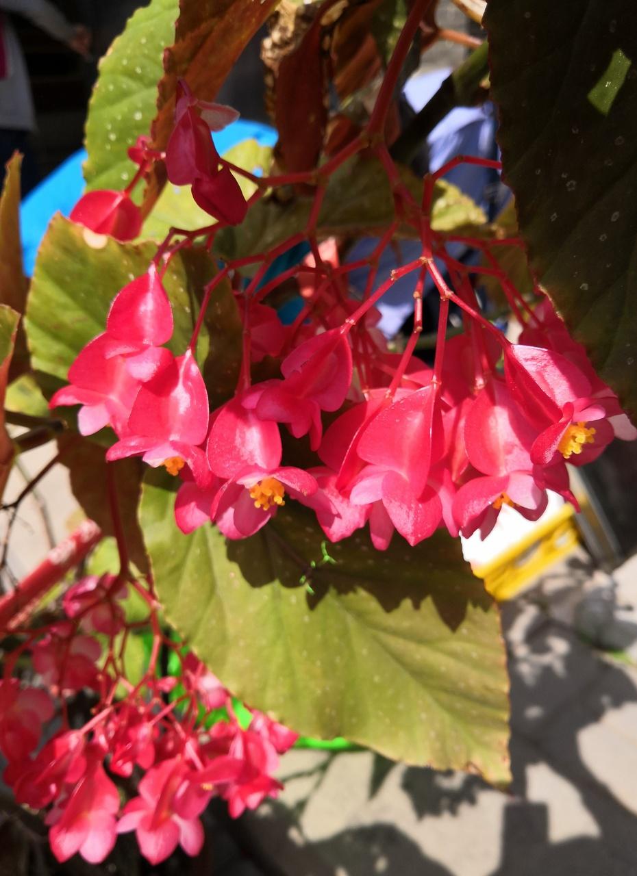 赏花之:文殊兰与秋海棠 - 淡淡云 - 淡淡云