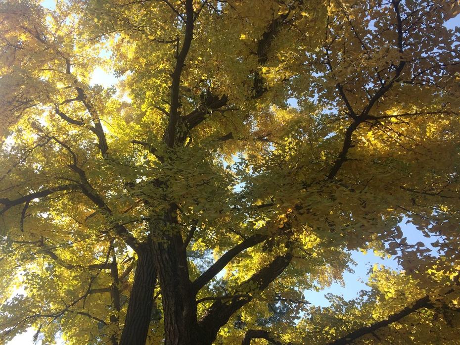 壁纸 风景 森林 银杏 银杏树 银杏叶 桌面 930_697
