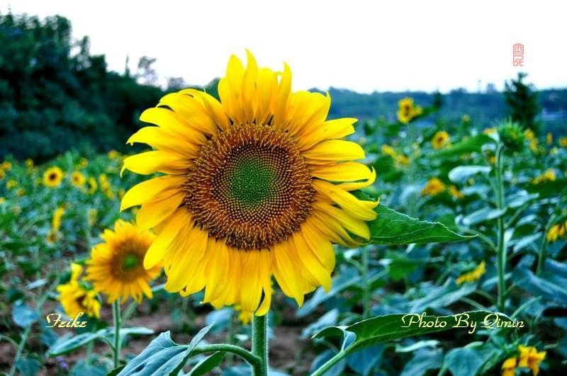 【原创影记】葵花向阳开1 - 古藤新枝 - 古藤的博客