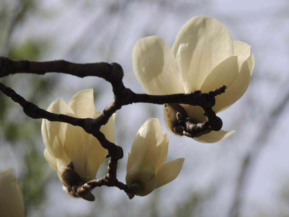 【摄影园地】白色玉兰花 - 留石 - 留石的博客