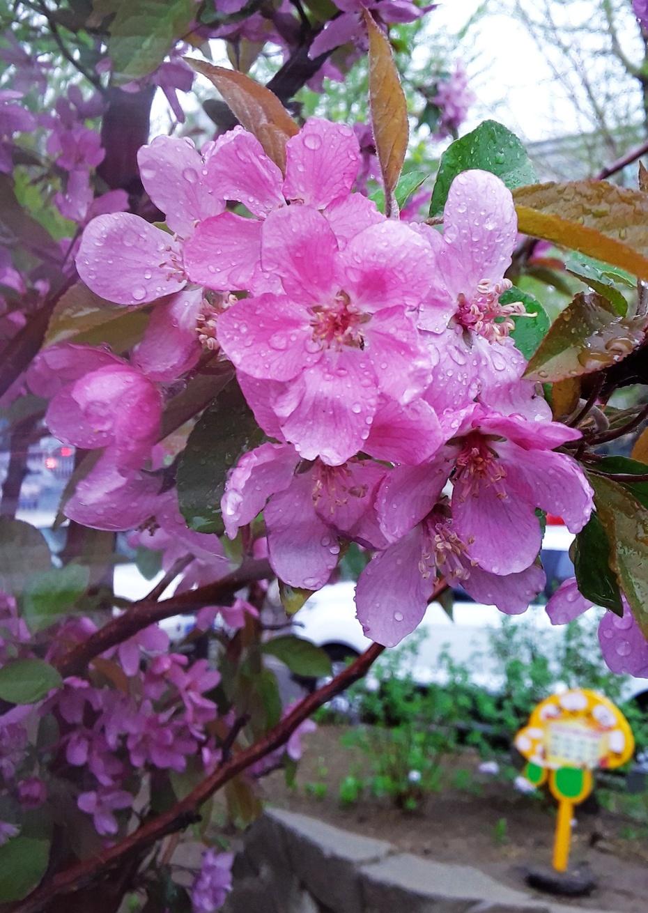 雨中桃花及其它 - 淡淡云 - 淡淡云