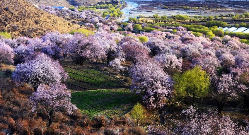 心醉西藏那漫山遍野的桃花 - 草原恋 - 草原恋的图片博客