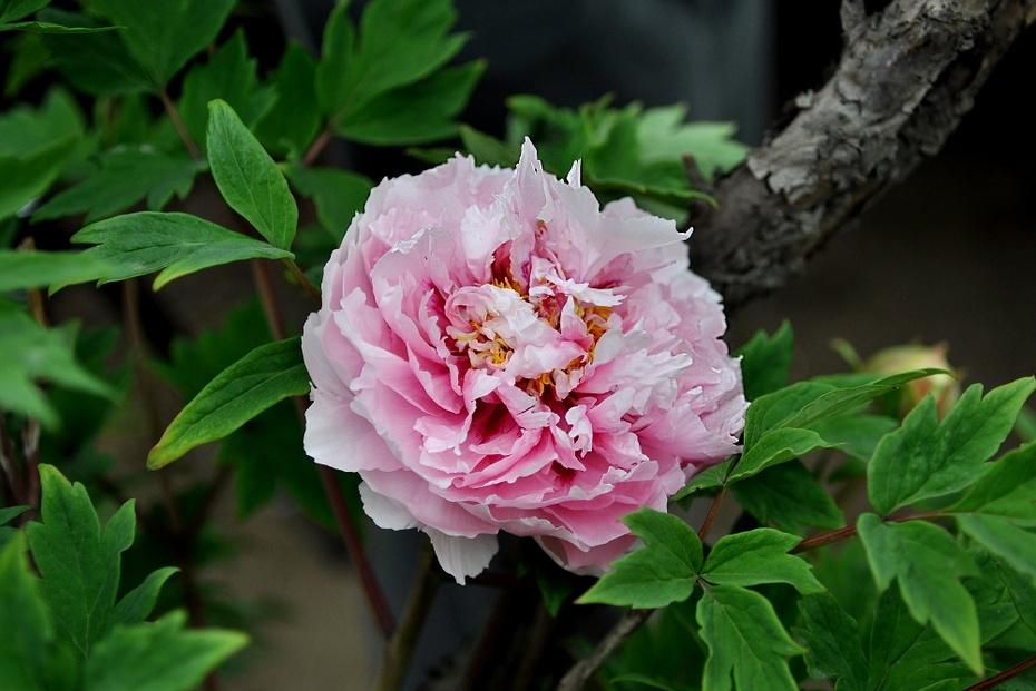 【摄影园地】——牡丹花开(17-55镜头下的牡丹花) - 锦州老牛 - 锦州老牛的博客