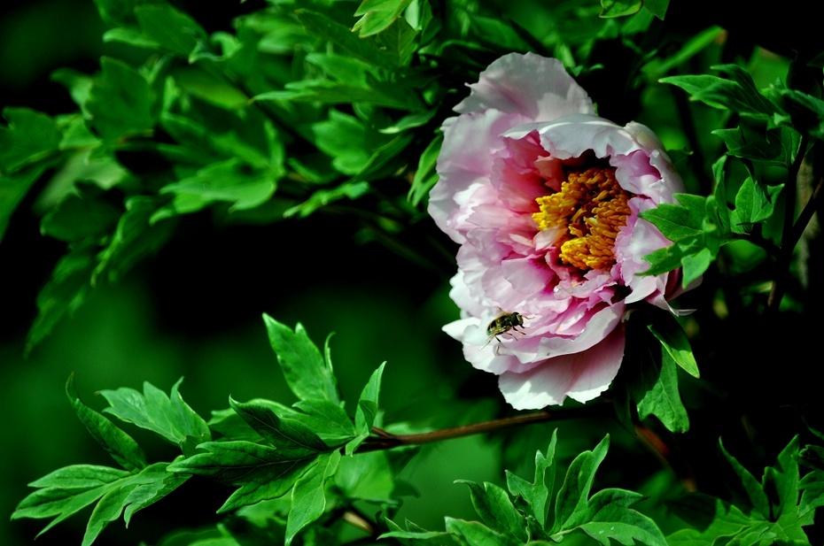 【摄影园地】——牡丹花开(55-300镜头下的牡丹花) - 锦州老牛 - 锦州老牛的博客