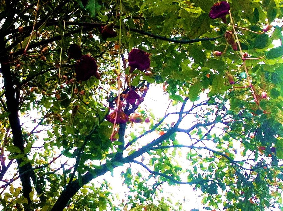 内地罕见的观赏树 - 小马马倌 - 小马马倌的博客