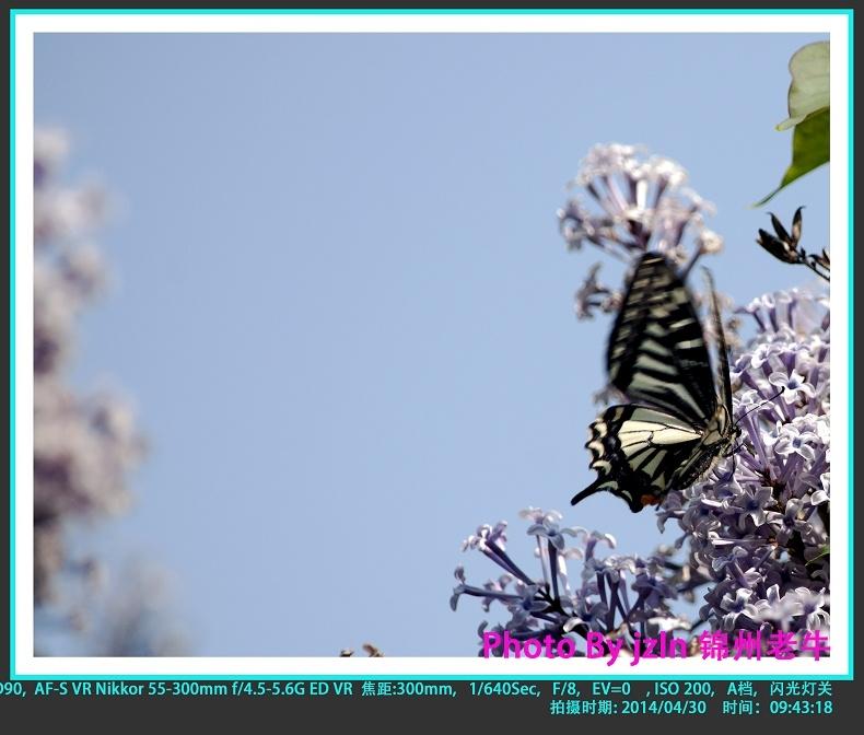 【摄影园地】——蝶恋花(一组) - 锦州老牛 - 锦州老牛的博客