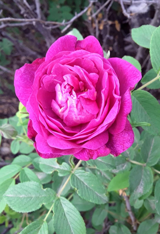 赏花之:红刺玫 - 淡淡云 - 淡淡云