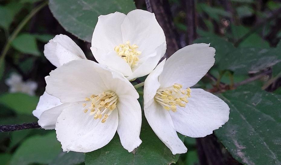赏花之:山梅花 - 淡淡云 - 淡淡云