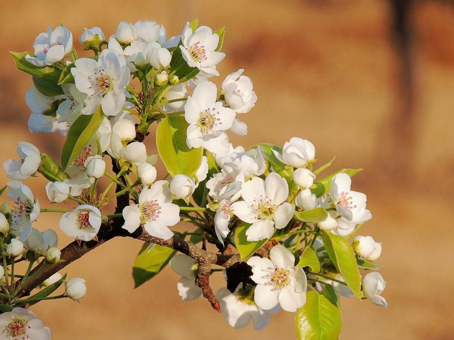 【摄影园地】梨花图 - 留石 - 留石的博客