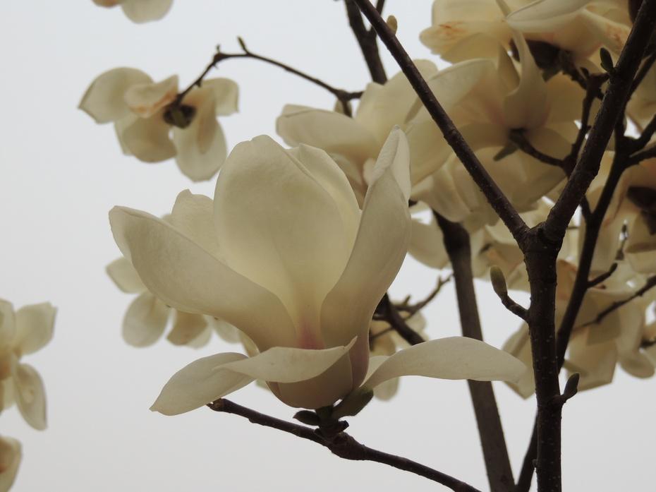 北京玉兰花盛开 - 留石 - 留石的博客