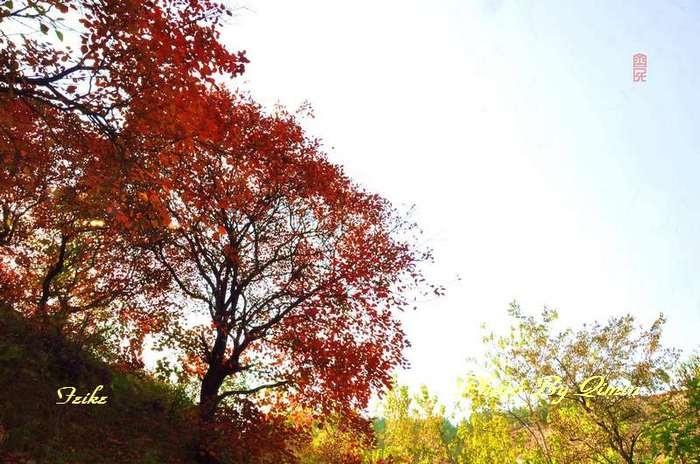 【原创影记】齐鲁观红叶——青州曹家庄4 - 古藤新枝 - 古藤的博客