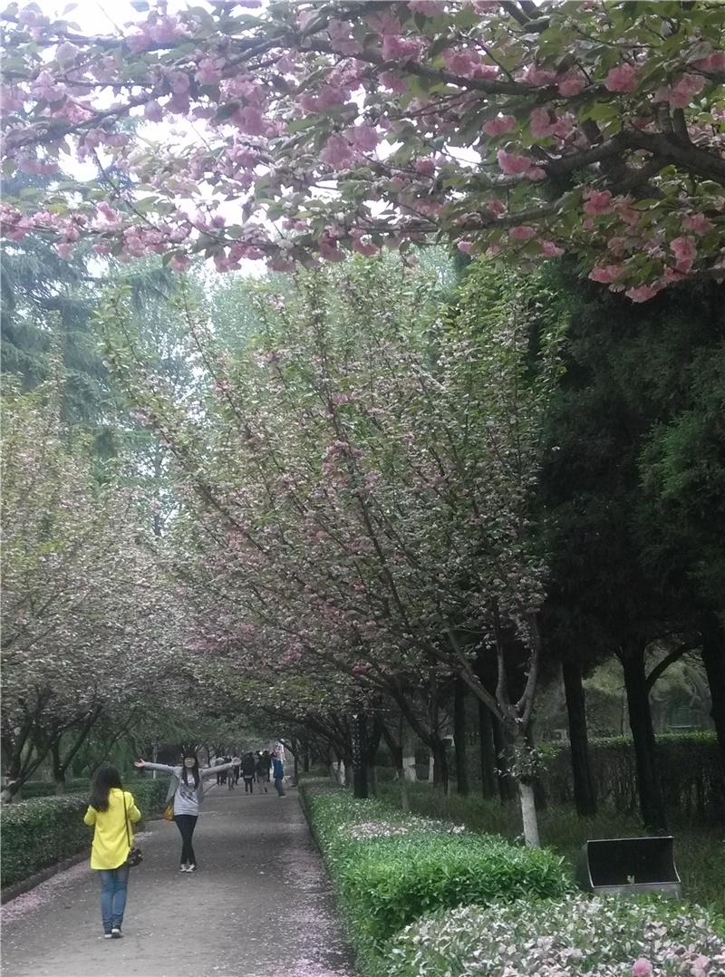 樱花飘落的美丽忧伤