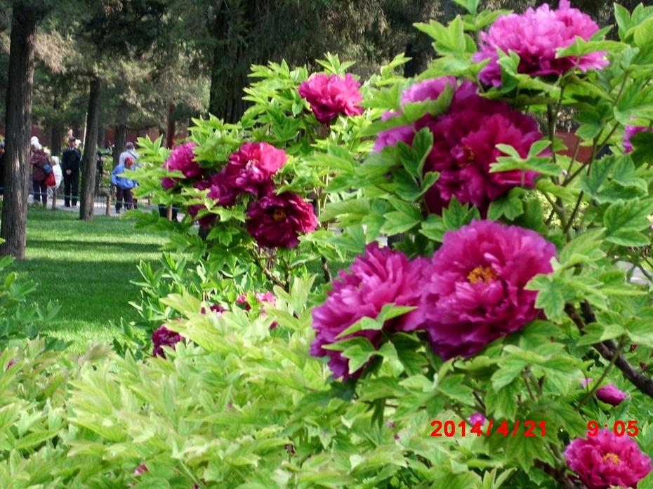 春上牡丹花,天香到吾家----北京景山牡丹美4(原创摄影) - 读万卷书 - 读书学习