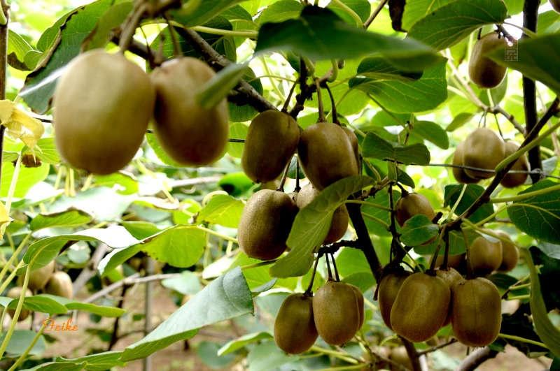 【原创影记】见识猕猴桃园 - 古藤新枝 - 古藤的博客
