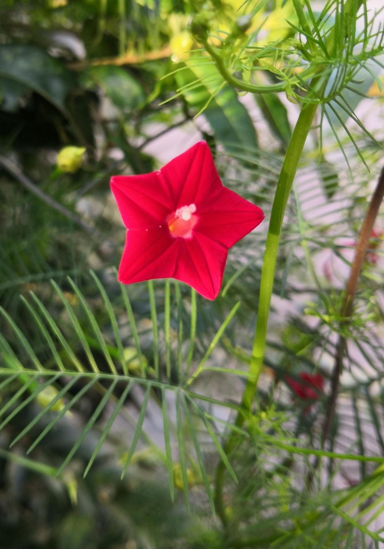赏花之:茑萝花 - 淡淡云 - 淡淡云
