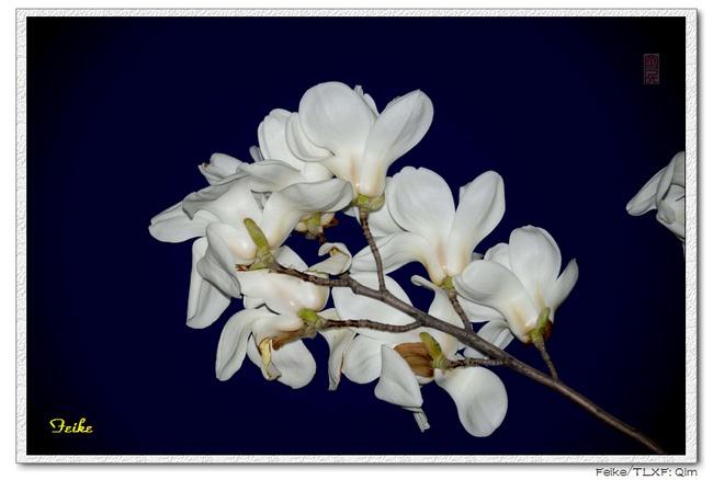 【原创摄影】春日花片——玉兰花3 - 古藤新枝 - 古藤的博客