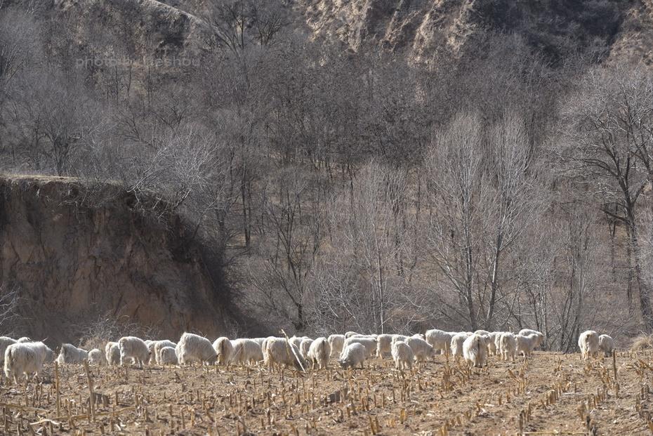 陕北风情(11)—— 魏塔放羊倌_图1-15