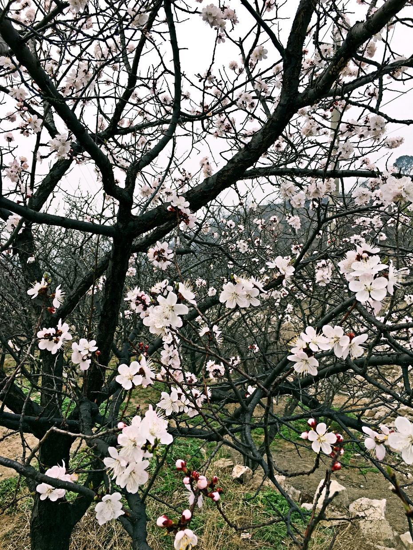 想起那首著名的山西民歌《桃花红 杏花白》,唱的是年轻女子的爱情.