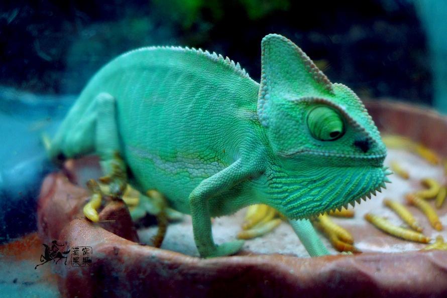 蜥蜴属于热血爬行动物,战它显现正在三叠纪期间的初期爬行动物先人很