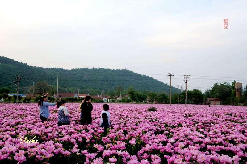 【原创影记】慕见芍药花海 - 古藤新枝 - 古藤的博客