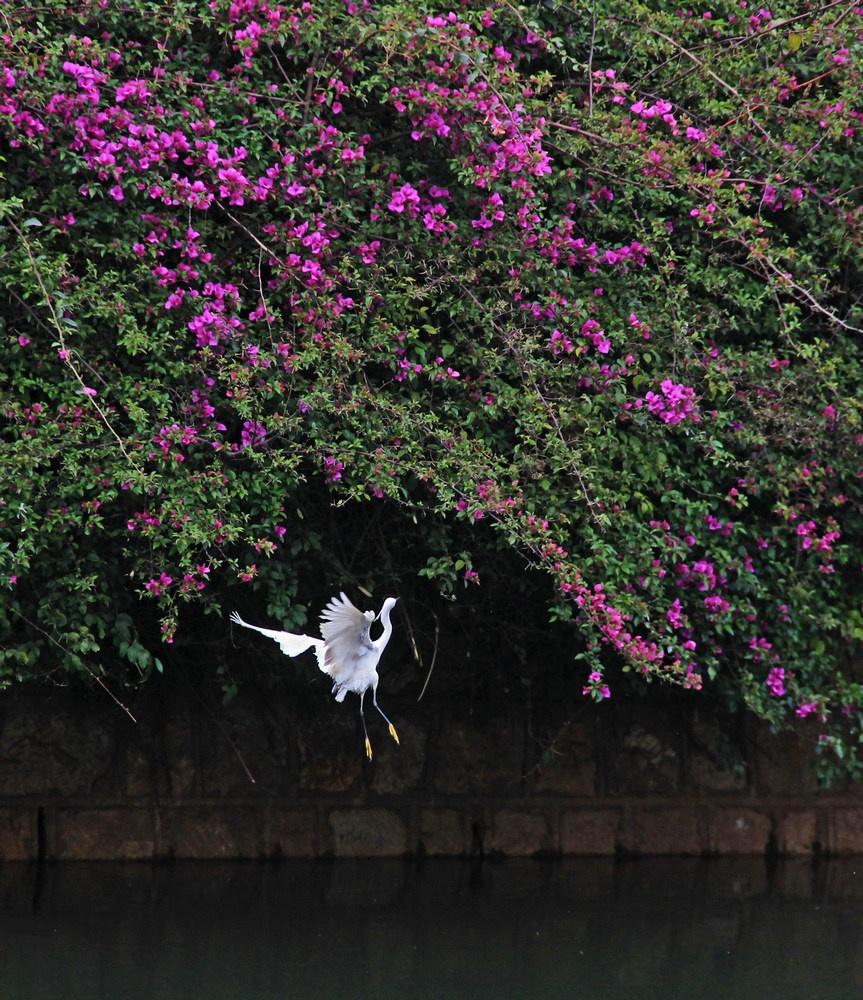 昆明盘江观白鹭,碧水繁花羽衣舞--昆明游之五 - 侠义客 - 伊大成 的博客
