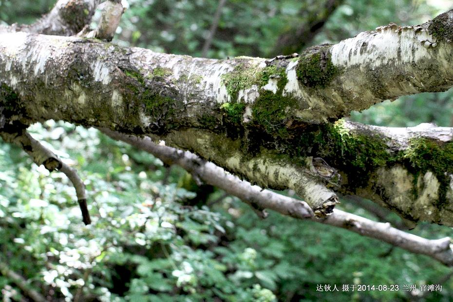 白桦林远景手绘